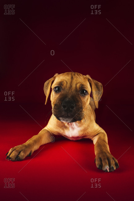 Cute puppy of American Pit Bull Terrier lying on floor in studio on red background
