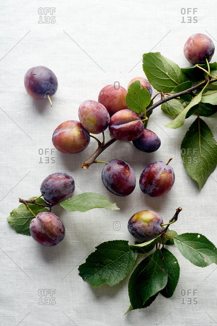 Overhead with a branch from the plum tree with fresh ripe organic fruits on white linen