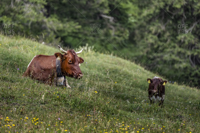 Berchtesgadener Land, Mordaualm near Ramsau, cows, alpine summer in Bavaria, Germany,