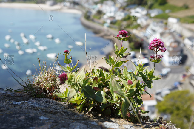 Jersey, wildflowers on the coast