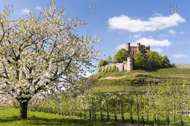 Ortenau Castle and blooming cherry trees, Ortenau, Baden, Black Forest, Baden-Wuerttemberg, Germany