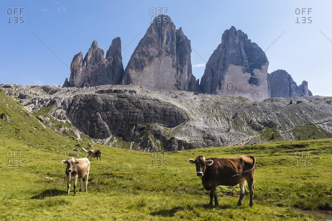 Alpine cows on a meadow in front of the Tre Cime di Lavaredo, Drei Zinnen, (2999m), Dolomiti di Sesto Natural Park, Alta Pusteria, Bolzano district, South Tyrol, Alps, Dolomites, Trentino-Alto Adige, Italy