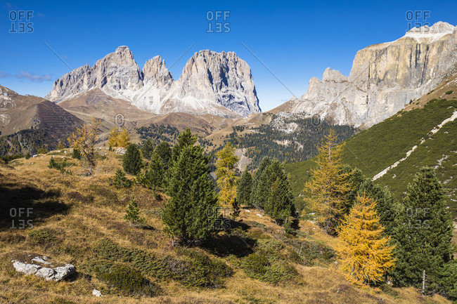 Colorful larch trees in front of Langkofel Group (Gruppo del Sassolungo) with the Mountains Grohmannspitze (Punta Grohmann) (3126m), Funffingerspitze (Punta delle Cinque Dita) (2996m) and Langkofel (Sassolungo) (3181m), Pordoi Pass, Province of Trento, South Tyrol, Italy