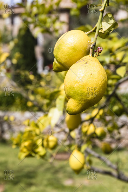 Ripe Lemons in a tree, close-up, Sierra de Tramuntana, Deia, Mallorca, Balearic Islands, Spain