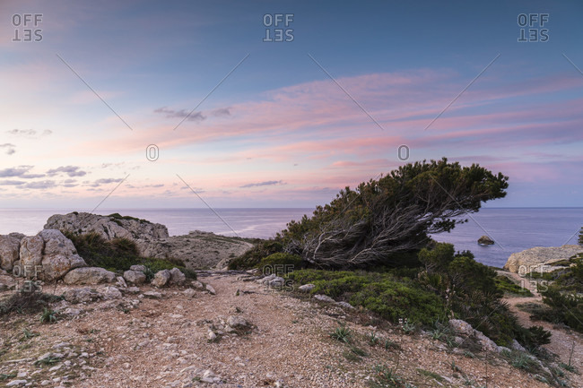 Bended pine tree on the coast above the Mediterranean Sea at dusk, Punta de Cap de Pera, Cala Ratjada, Mallorca, Balearic Islands, Spain