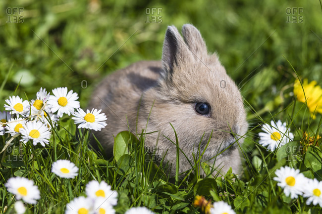 Young dwarf rabbits (3 weeks) among daisies (Bellis perennis) on lawn, Germany