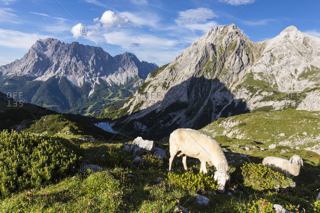 Sheep above Seebensee (1657m) in front of Zugspitz mountain group (2962m) and Vorderer Tajakopf (2450m), Ehrwald, Tirol, Austria