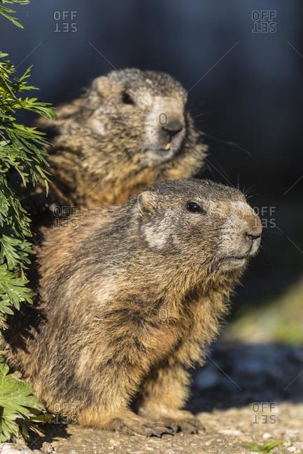 Marmot, Alpenmurmeltier (Marmota marmota), Dolomiti di Sesto Natural Park, Alta Pusteria, Bolzano district, South Tyrol, Alps, Dolomites, Trentino-Alto Adige, Italy