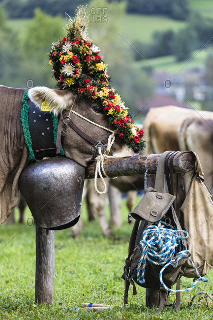 Traditional Viehscheid, Cow with huge bell and head decorations, Bad Hindelang, Algae, Swabia, Bavaria, Alpen, Bayerische Alpen, Germany