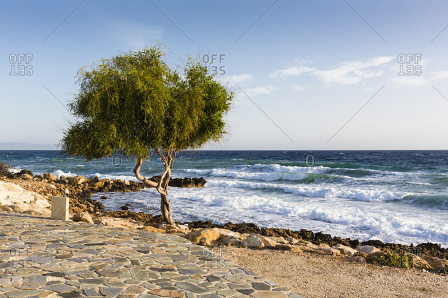 Twisted willow tree (genus Salix) by rocks in front of the rough surf of the Mediterranean Sea, Protaras, Cyprus