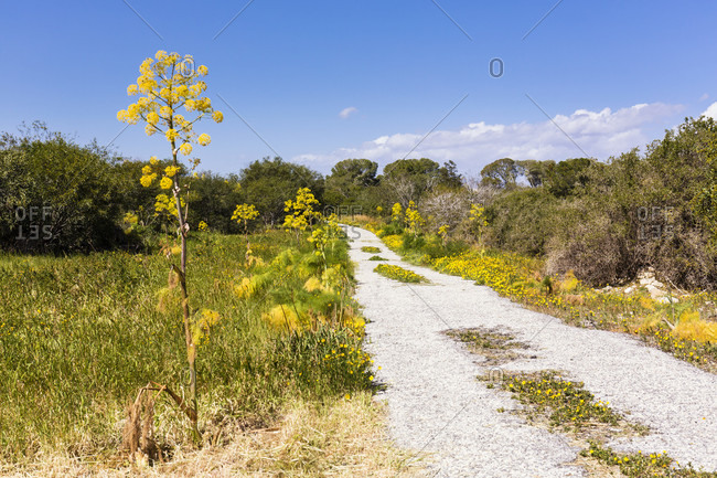 Wild fennel at the archaeological site of Salamis, Famagusta, Gazimagusa, North Cyprus, Cyprus