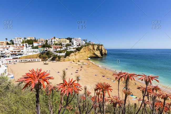 Blooming Aloe Vera plants at an elevated view on Carvoeiro village and its beach Praia de Carvoeiro