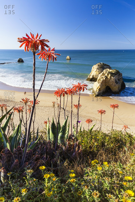 Blooming Aloe Vera in front of two rock pillars on the beach of Praia da Rocha