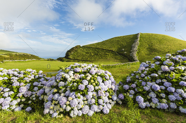 Blooming Hortensia walls in front of agricultural landscape with smooth green hills, Reserva Florestal Natural Parcial do Pico das Caldeirinhas