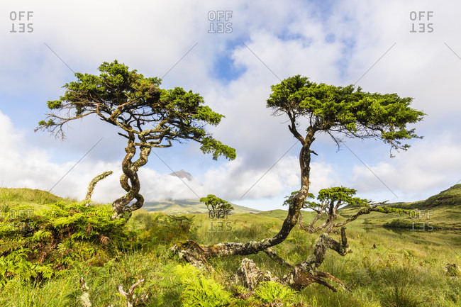 Wind formed trees at Lagoa do Capitao against the unvisible Mount Pico in the clouds
