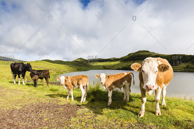 Herd of cows by Lake do Capitao against the unvisible Mount Pico in the clouds
