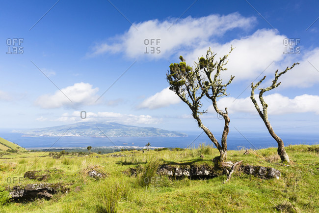 Wind formed trees on pastureland in front of a view to Faial