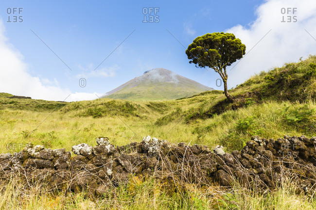 Endemic Tree Heath (Erica azorica) by a lava stone wall in front of pastureland and Mount Pico (2351 m)