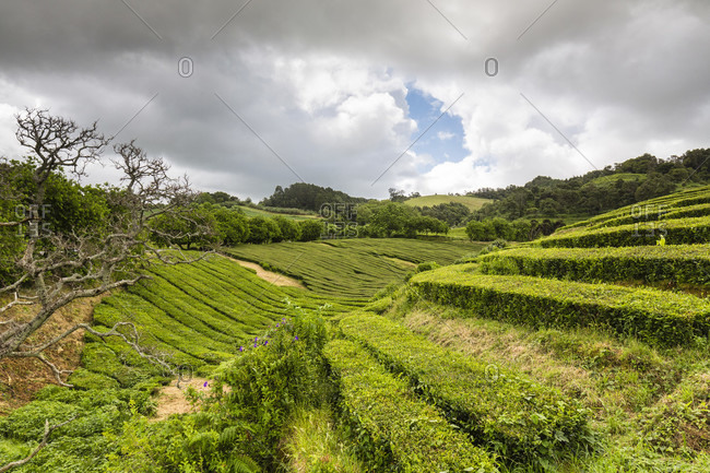 Tea Plantation, rows of tea plants