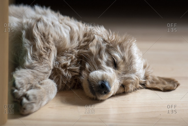 An 8 week old Mini Goldendoodle (a mixture of a golden retriever and a miniature poodle) sleeps on a laminate floor.