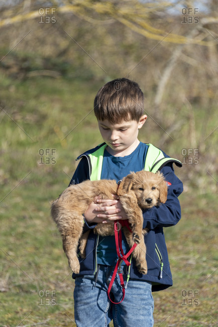 An 8-week-old Mini Goldendoodle (a mixture of a golden retriever and a miniature poodle) can be carried by a boy.