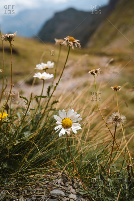 Daisy flowers in the highlands of Pyrenees