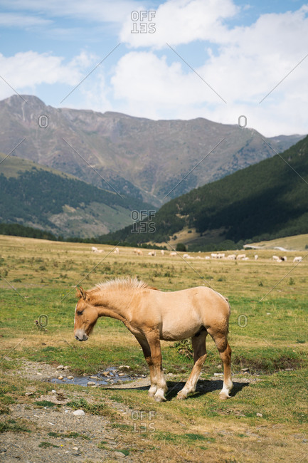 Brown colt grazing on a meadow in Pyrenees