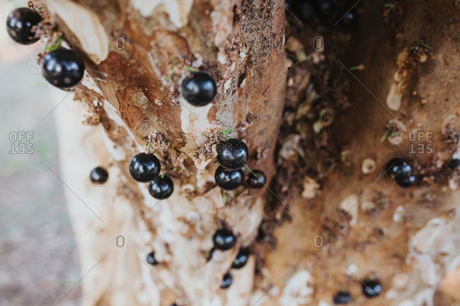 Close up of a jabuticaba (Brazilian grape) growing from the trunk of the tree while in season