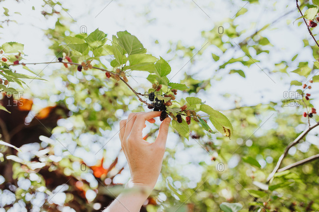 Woman's hand picking mulberries off a mulberry tree