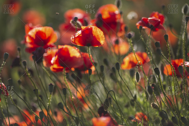 Poppy field from the Offset Collection
