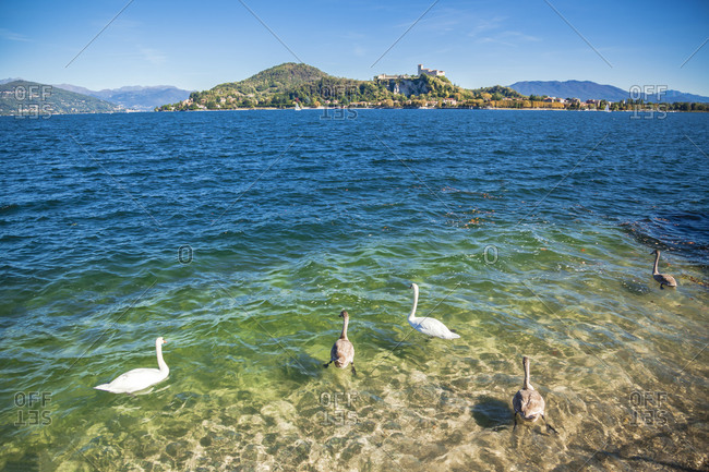 Birds swimming on Lake Maggiore during sunny day