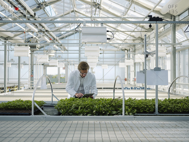 Scientist with tablet examining plants in a greenhouse