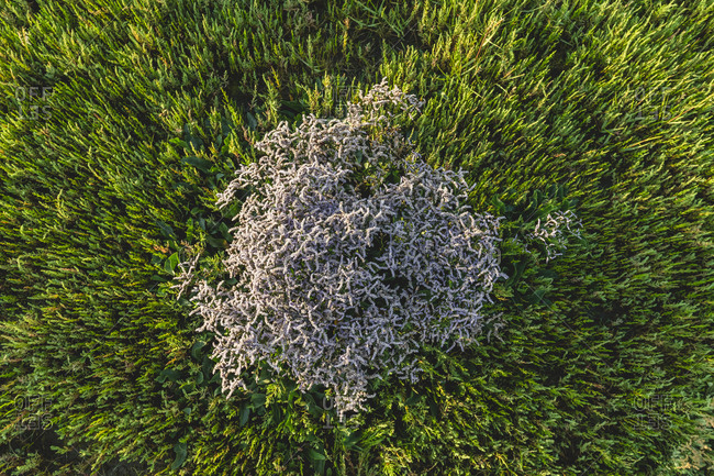 Aerial view of growing sea lavender (limonium) and salicornia