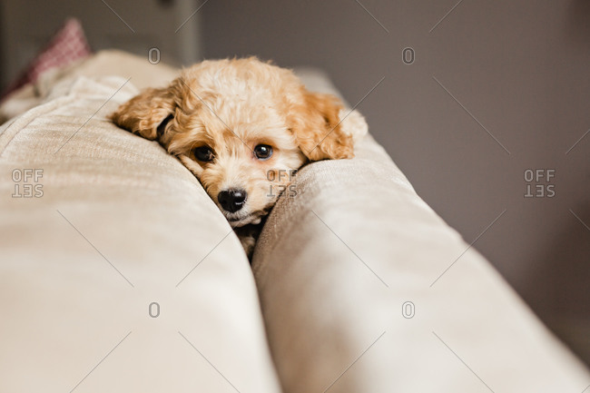 Adorable puppy relaxing on sofa at home