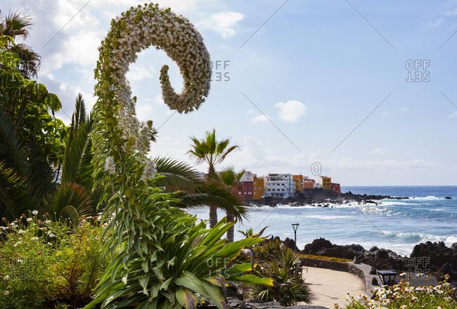 March 26, 2019: Spain- Canary Islands- Puerto de la Cruz- Flowering bush in front of coastal promenade in Punta Brava neighborhood