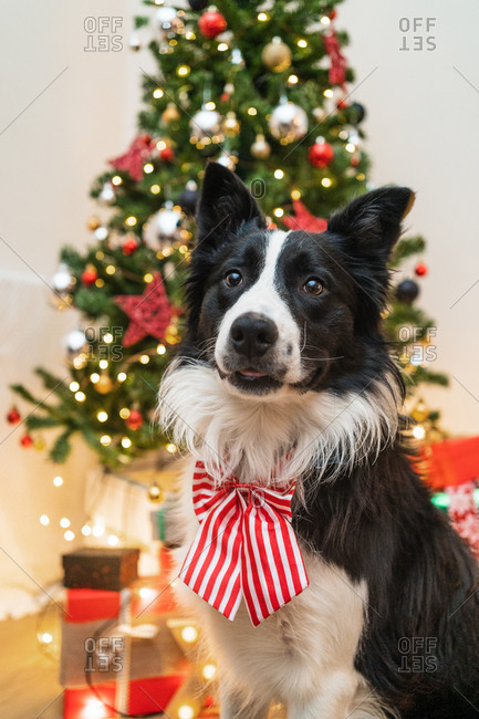 Cute fluffy Border Collie dog with bow sitting in bright room with sparkling lights of Christmas tree