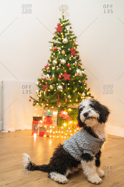 Adorable little dog in warm sweater sitting in cozy room with glowing Christmas tree