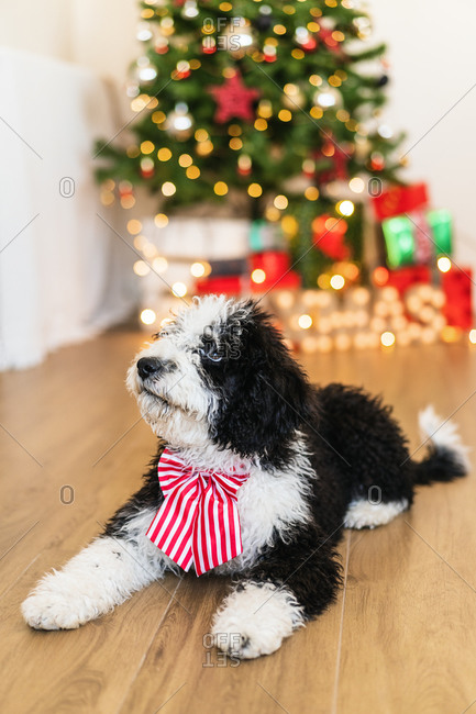 Adorable little dog sitting in cozy room with glowing Christmas tree