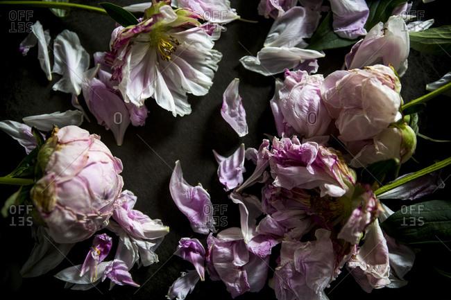 Drying pink peonies on dark background