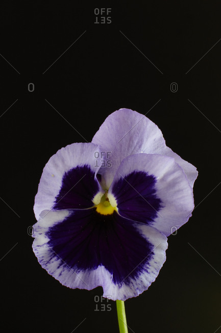 Beautiful purple pansy flower in front of black background