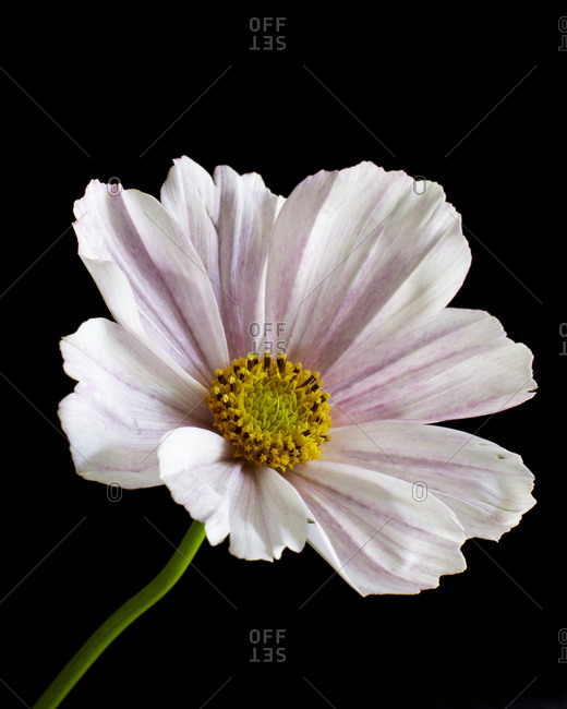 Light pink cosmos flower in front of black background