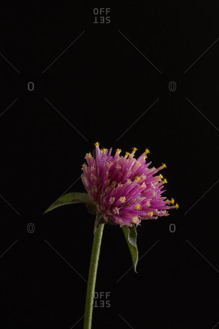 Pink globe amaranth in front of black background