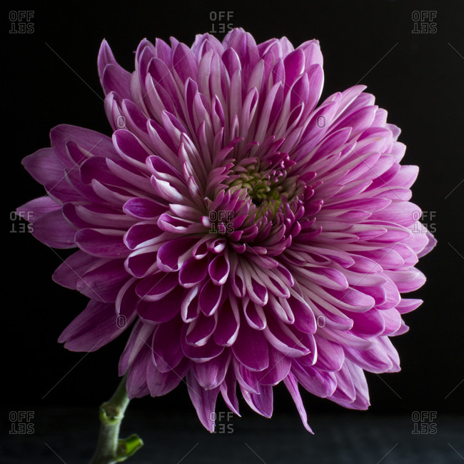 Close up of a purple chrysanthemum in front of a dark background