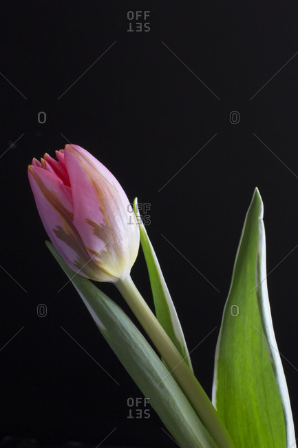 Beautiful pink tulip in front of black background