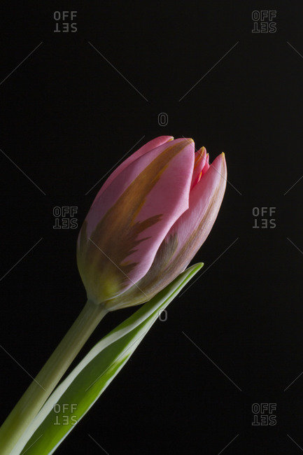 A pink tulip in front of black background