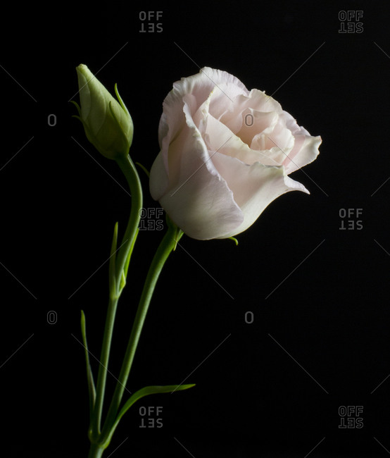Soft pink lisianthus in front of black background
