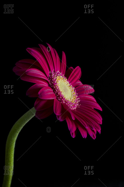 A fuchsia gerbera daisy in front of black background
