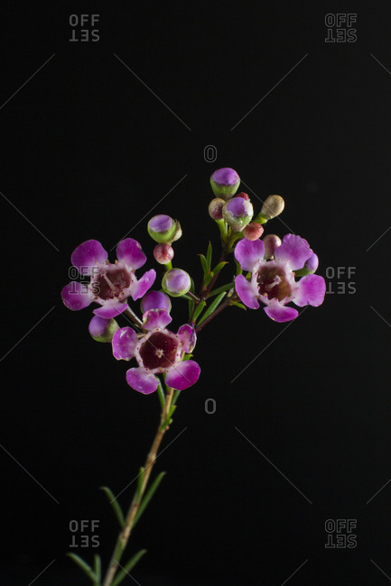 Pretty purple flowers in front of black background