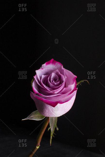 A single pink rose in front of black background