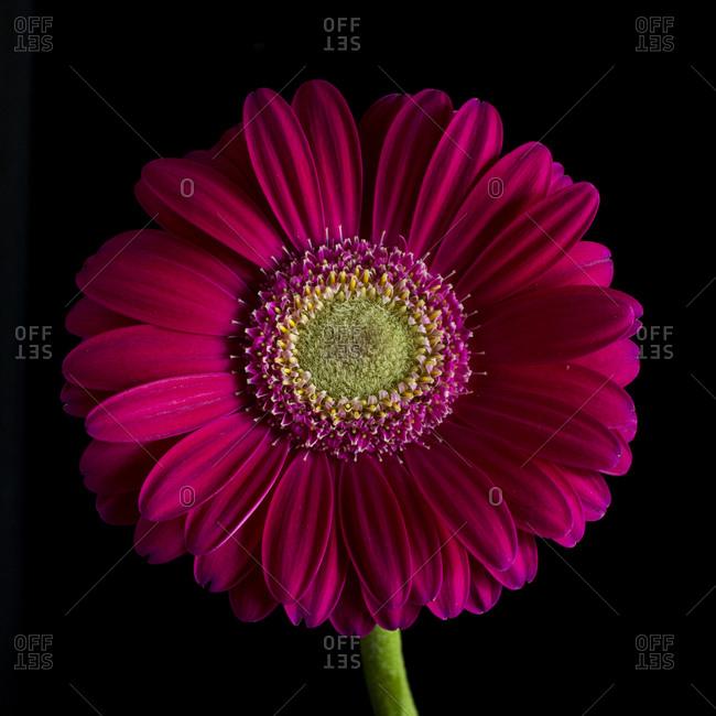 Beautiful fuchsia gerbera daisy in front of black background